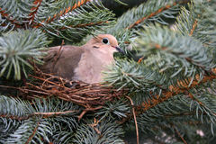 Morning Dove On Nest Stock Images