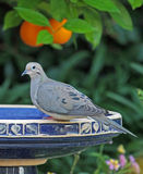Morning Dove Stock Photos