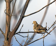Morning dove sitting on a branch Royalty Free Stock Image