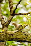 Morning Dove in Sunburst Locust Royalty Free Stock Photos