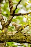 Morning Dove in Sunburst Locust Royalty Free Stock Photos