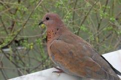 Morning dove Royalty Free Stock Photos