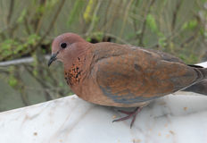Morning dove Royalty Free Stock Image