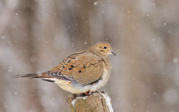 Morning dove in winter Stock Images