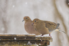 Morning dove in winter Stock Photo