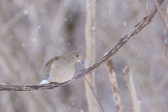 Morning dove in winter Stock Photography