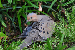 Morning Dove ( Zenaida macroura ) Stock Photography