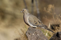 Morning dove, Zenaida macroura, Royalty Free Stock Photo