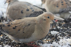 Morning Doves Searching for Seeds Royalty Free Stock Photos