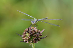 Morning dragonfly Stock Images