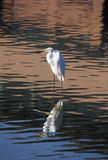 Morning Egret Reflection. Bright spring morning portrait of an American egret standing in a freshwater pond Stock Images