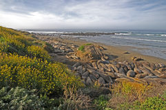 Morning Elephant Seals Stock Photo