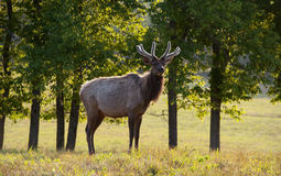 Morning Elk. A bull elk stands stands in a field Royalty Free Stock Photos