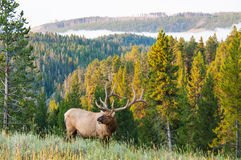 Morning Elk Stock Photography