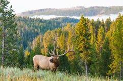 Morning Elk. An elk walks along a hillside on a foggy morning Stock Photography