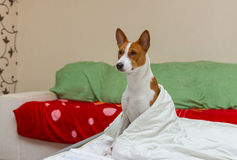 Morning episode in bedroom of basenji dog Royalty Free Stock Image