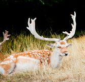 The Fallow deer in Richmond park was resting. In the morning, The Fallow deer in Richmond park was resting,Their antlers are very beautiful in autumn royalty free stock images