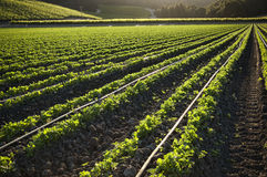 Morning farmland, crop growing in rows Royalty Free Stock Photos