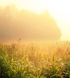 Morning field Stock Photography