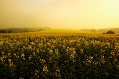 Morning on field. Pride of the morning and rape oil field at sunrise Stock Photography