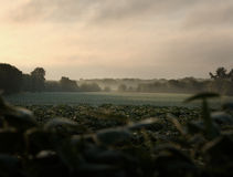 Morning Fields. Midwest bean fields. Early on a hot August Morning with a touch of fog drifting tthrough Stock Image