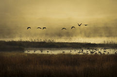 Morning Flight. Early morning fog rising from a warm marsh with Canada geese taking flight Royalty Free Stock Images
