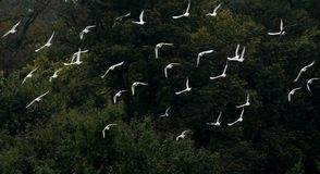 Morning flight of a flock of white pigeons Stock Images