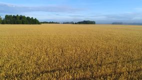 Morning flight over the ripening wheat field aerial video. Yaroslavl region stock footage