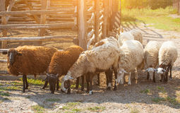 In the morning a flock of sheep out of  corral for the cattle in the pasture. Stock Photo