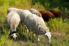 In the morning a flock of sheep out of corral for the cattle in the pasture. Royalty Free Stock Image