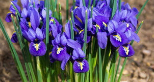 Morning flower iris park. Natural blurred background royalty free stock photography