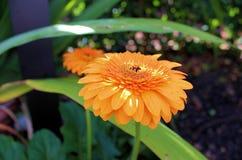 Morning Flower-Orange Royalty Free Stock Photos