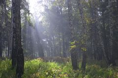 Morning fog. Foggy morning in the forest royalty free stock photos