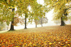 Morning fog in autumnal park. Morning light shines through colorful branches in autumnal park with colorful trees on meadow on a foggy morning Stock Photos