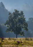 Morning Fog Covers Large Tree and Open Field Stock Photos