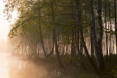 Morning fog in the forest Royalty Free Stock Photo