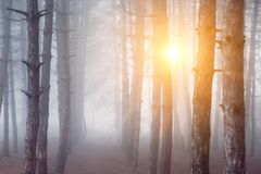 Morning fog in forest. background. sunrise in forest royalty free stock images