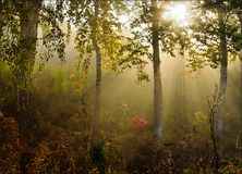 Morning fog in the forest with beautiful sun rays stock photography