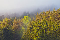Morning fog in forest with sunbeam Royalty Free Stock Image