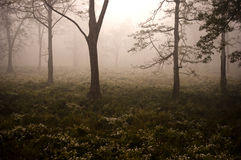 Morning fog in the green forest. Royalty Free Stock Images