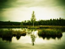 Morning fog on a lake in swamp. Fresh green birch in middle on small island. Royalty Free Stock Images
