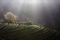 Morning fog on the mountain. At chiangmai thailand royalty free stock images