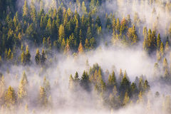 Morning fog in spruce and fir forest in warm sunlight Royalty Free Stock Photography