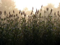 Morning Fog Sunlight Haze over Country Corn Field Stock Image