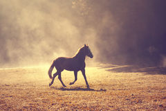 Morning foggy meadow with brown horse Royalty Free Stock Photos