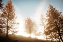 Morning foggy moods in autumn larch trees. In front of giant rock mountain. Beautiful autumn forest in the hill in countryside in Dachstein mountains in Austria Royalty Free Stock Photos