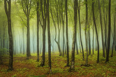 Morning in fogy forest Royalty Free Stock Photo