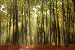 Morning in fogy forest Royalty Free Stock Images