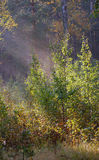 Morning_in_forest Images stock