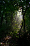 Morning in forest. Lights of the autumn forest, Nature landscape,  morning in forest Royalty Free Stock Photo